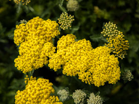 Desert Eve<sup>TM</sup> 'Yellow' Yarrow
