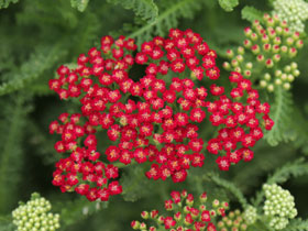 'New Vintage Red' Yarrow