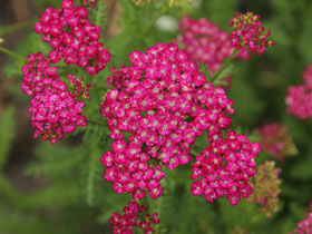 'New Vintage Violet' Yarrow