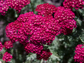 'Pomegranate' Yarrow