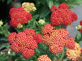 'Strawberry Seduction' Yarrow