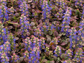 'Burgundy Glow' Variegated Bugleweed