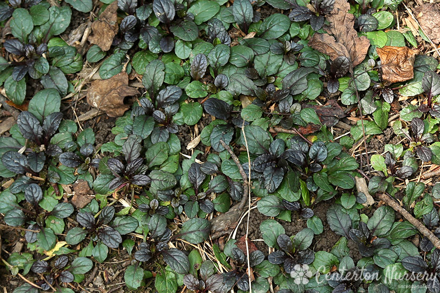 Bronze-Leaf Bugleweed