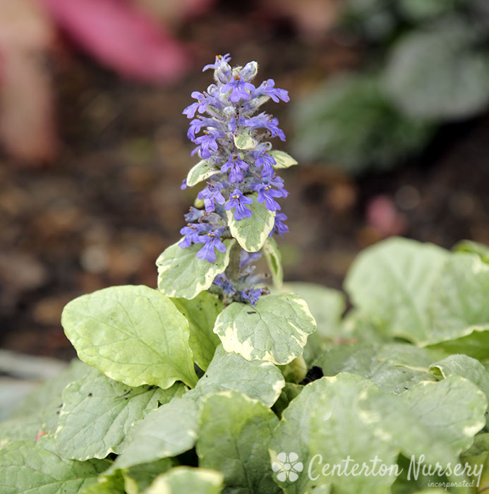 'Silver Queen' Bugleweed