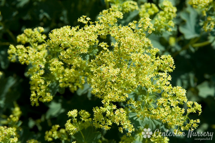 Common Lady's Mantle