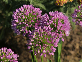 'Millenium' Flowering Onion