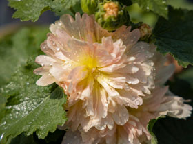 Spring Celebrities<sup>TM</sup> 'Apricot' Hollyhock