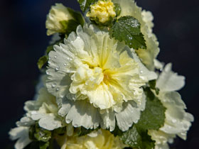 Spring Celebrities<sup>TM</sup> 'Lemon' Hollyhock
