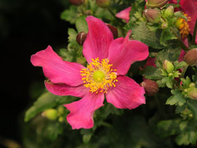 'Red Riding Hood' Fall Anemone