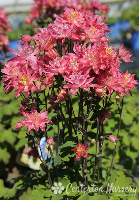 'Clementine Salmon Rose' Columbine