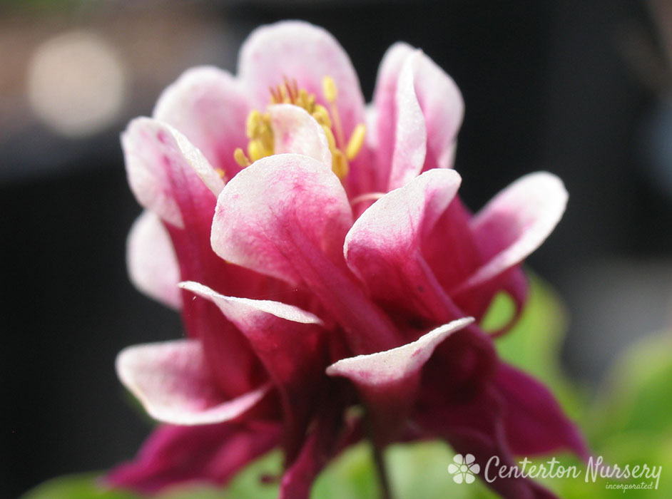 'Winky Double Red & White' Columbine