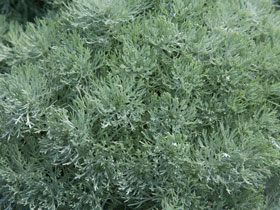 Silvermound Dwarf Wormwood