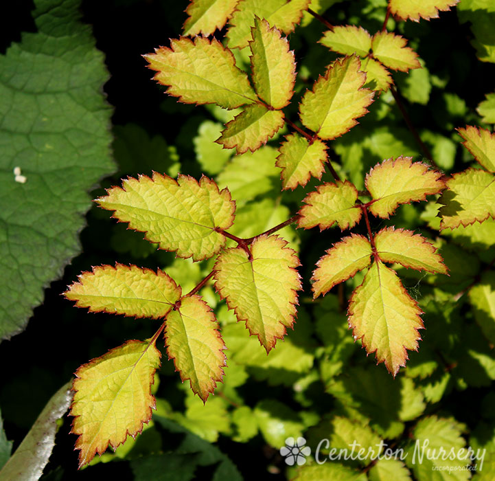 'Amber Moon' Chinese Astilbe