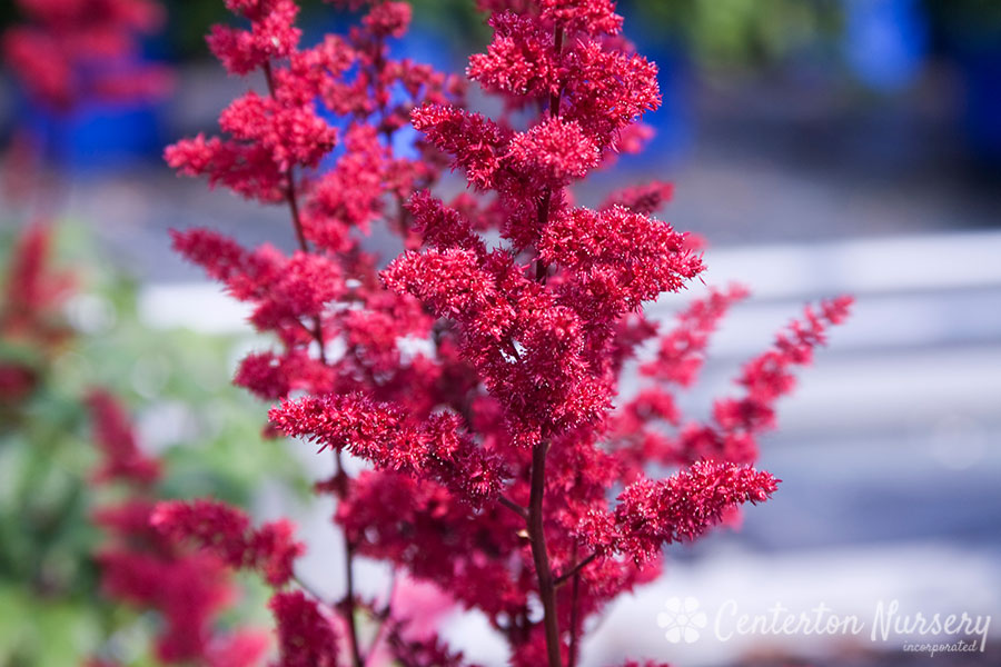 'Fanal' Red Astilbe