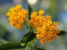 'Hello Yellow' Butterfly Weed