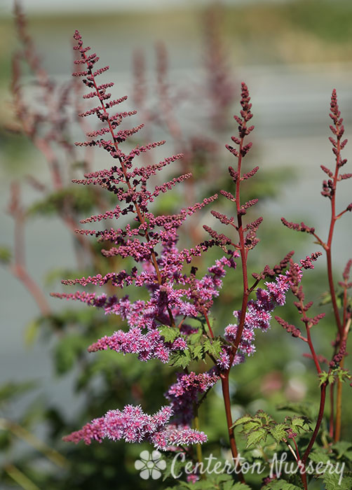 'Mighty Joe' Chinese Astilbe