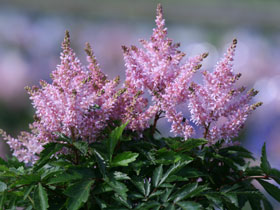Short 'n Sweet™ Sugarberry Astilbe