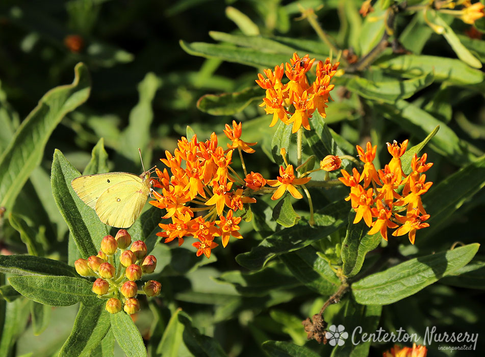 Native Butterfly Weed