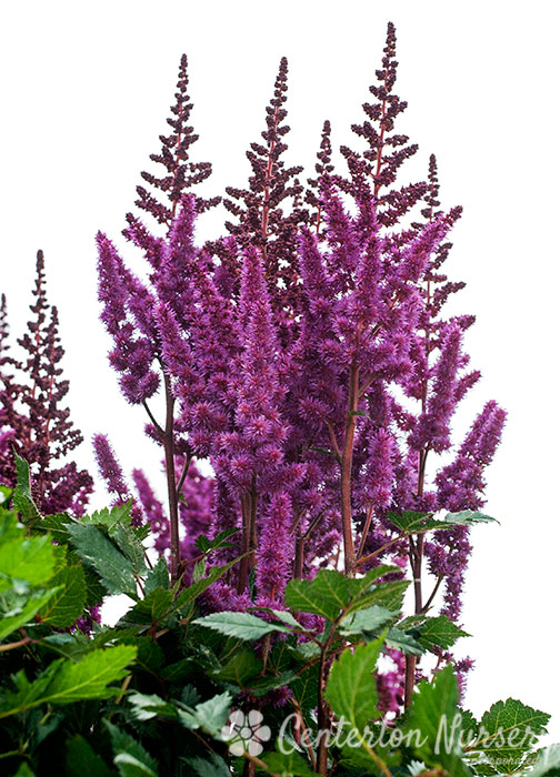 'Visions in Red' Chinese Astilbe