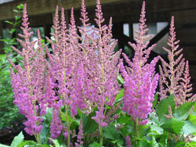 'Visions' Chinese Astilbe