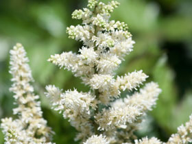 'Visions in White' Chinese Astilbe
