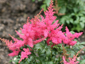 'Younique Cerise' Astilbe