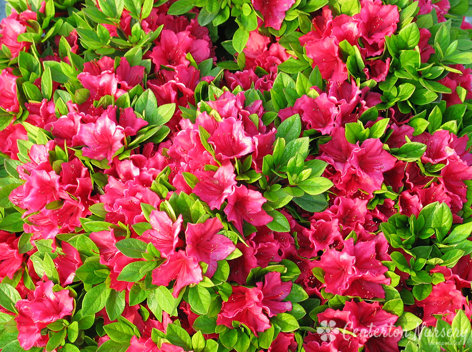 'Bixby' Dwarf Evergreen Azalea