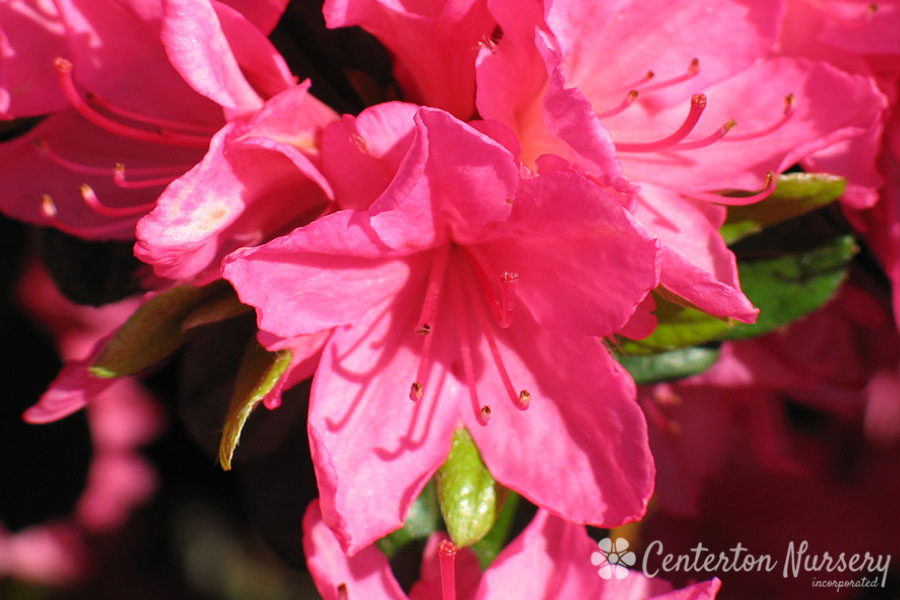 'Tradition' Pink Azalea