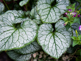 'Jack Frost' Heartleaf Brunnera