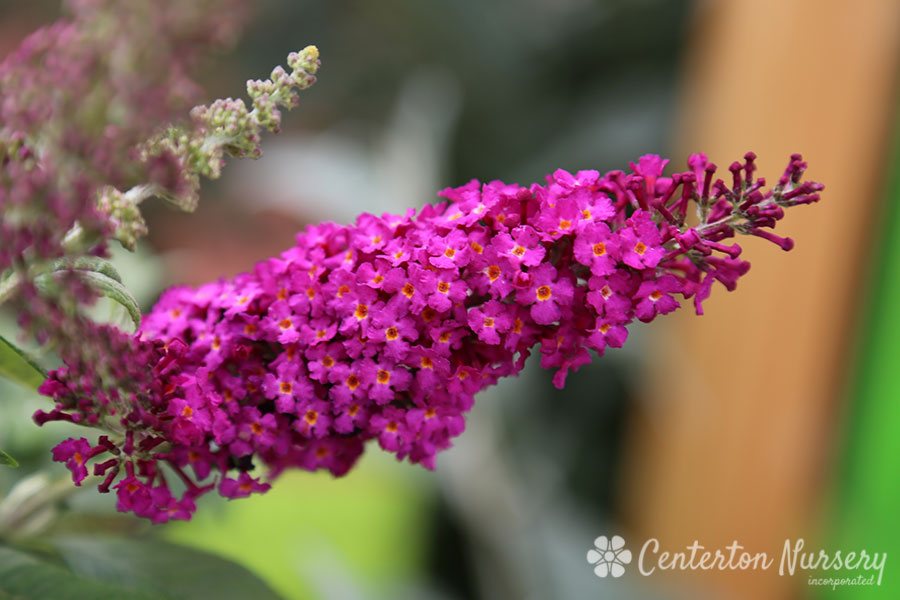 'Cran Razz' Butterfly Bush