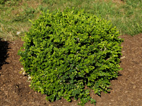 'Gordo' Mounding Boxwood
