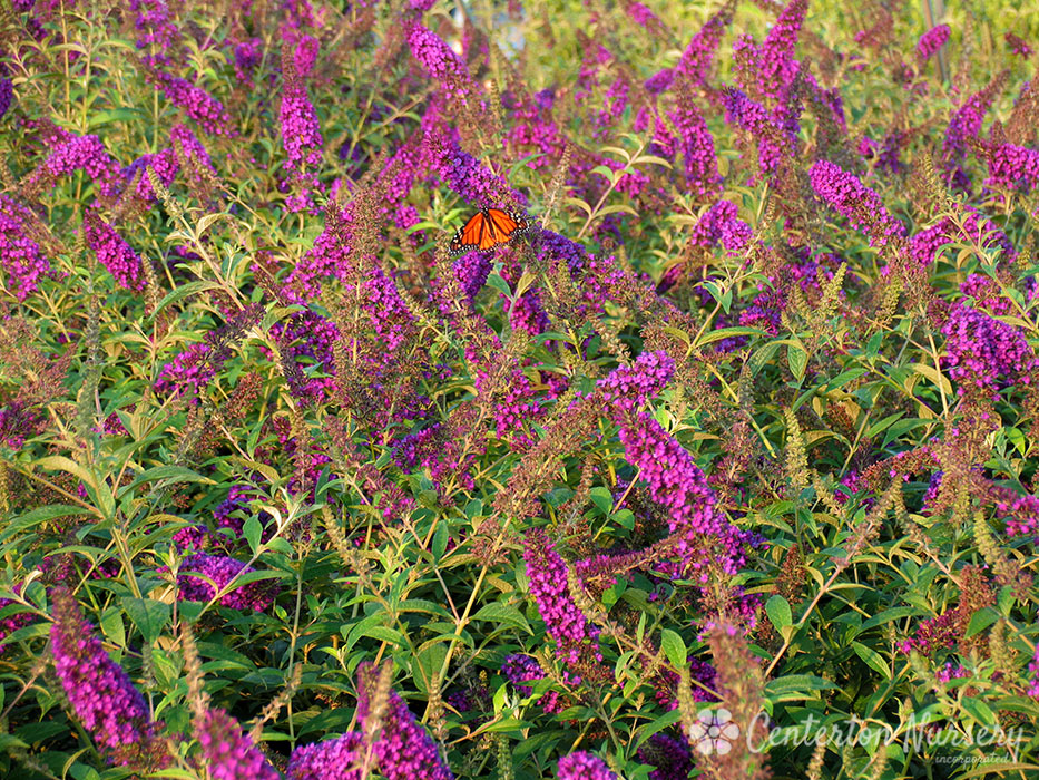 Guinevere' Deep Purple Butterfly Bush