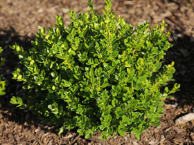 'Little Missy' Dwarf Boxwood