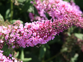'Pink Delight' Pink Butterfly Bush