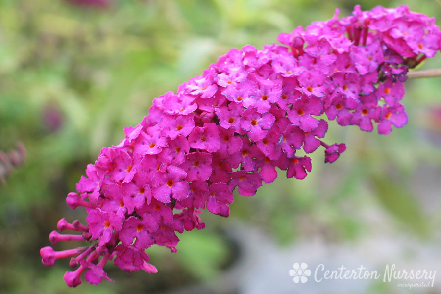 'Royal Red' Red Butterfly Bush