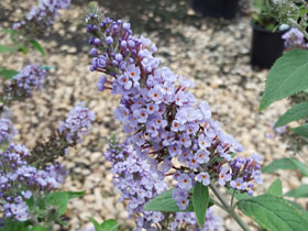 'True Blue' Butterfly Bush