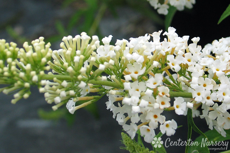 'White Profusion' White Butterfly Bush