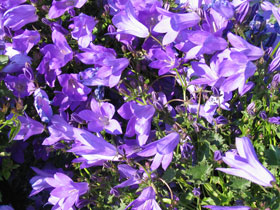 'Blue Waterfall' Bellflower