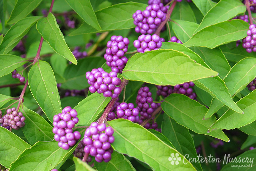 'Early Amethyst' Beautyberry