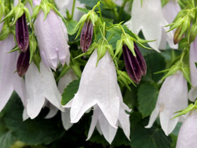 'Iridescent Bells' Intersectional Bellflower