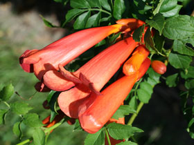 Red-Orange Trumpet Vine