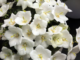 'Rapido White' Dwarf Bellflower
