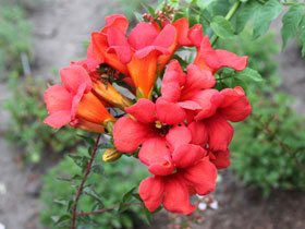 Summer Jazz<sup>TM</sup> Fire Semi-dwarf Trumpet Vine