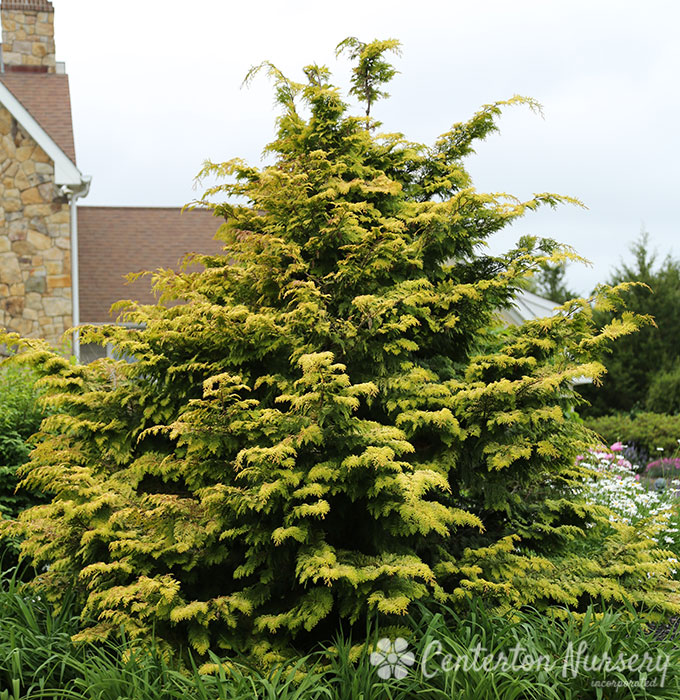 Cripp's Golden Cypress