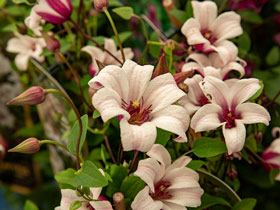 'Princess Kate' Clematis Vine