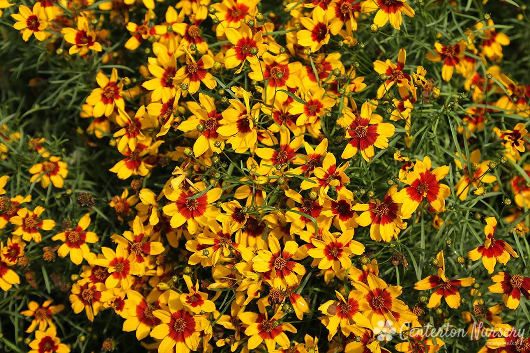 'Curry Up' Sizzle & Spice™ Coreopsis