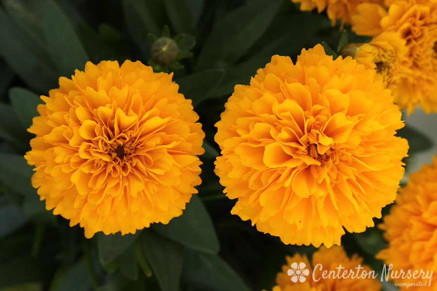'Golden Sphere' Broadleaf Coreopsis