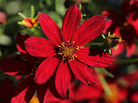 'Hot Paprika' Sizzle & Spice™ Coreopsis