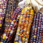 'Wilma's Pride' Indian Corn