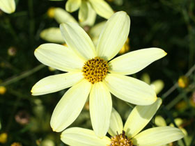 'Moonbeam' Threadleaf Coreopsis